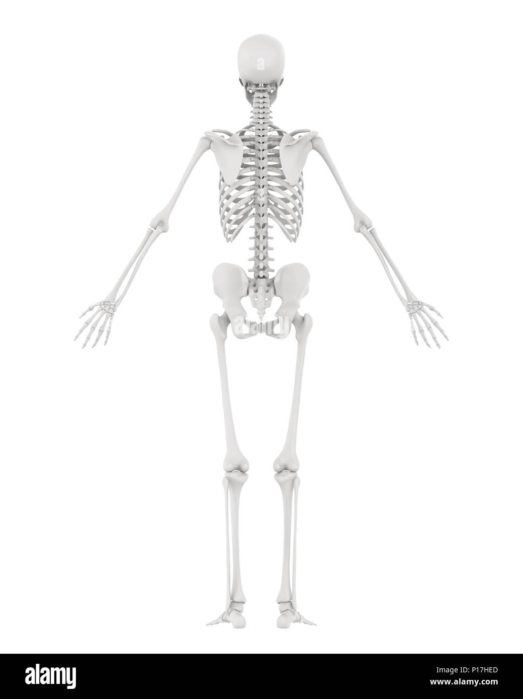 Human Skeleton Biology Stock Photos Human Skeleton Biology Stock