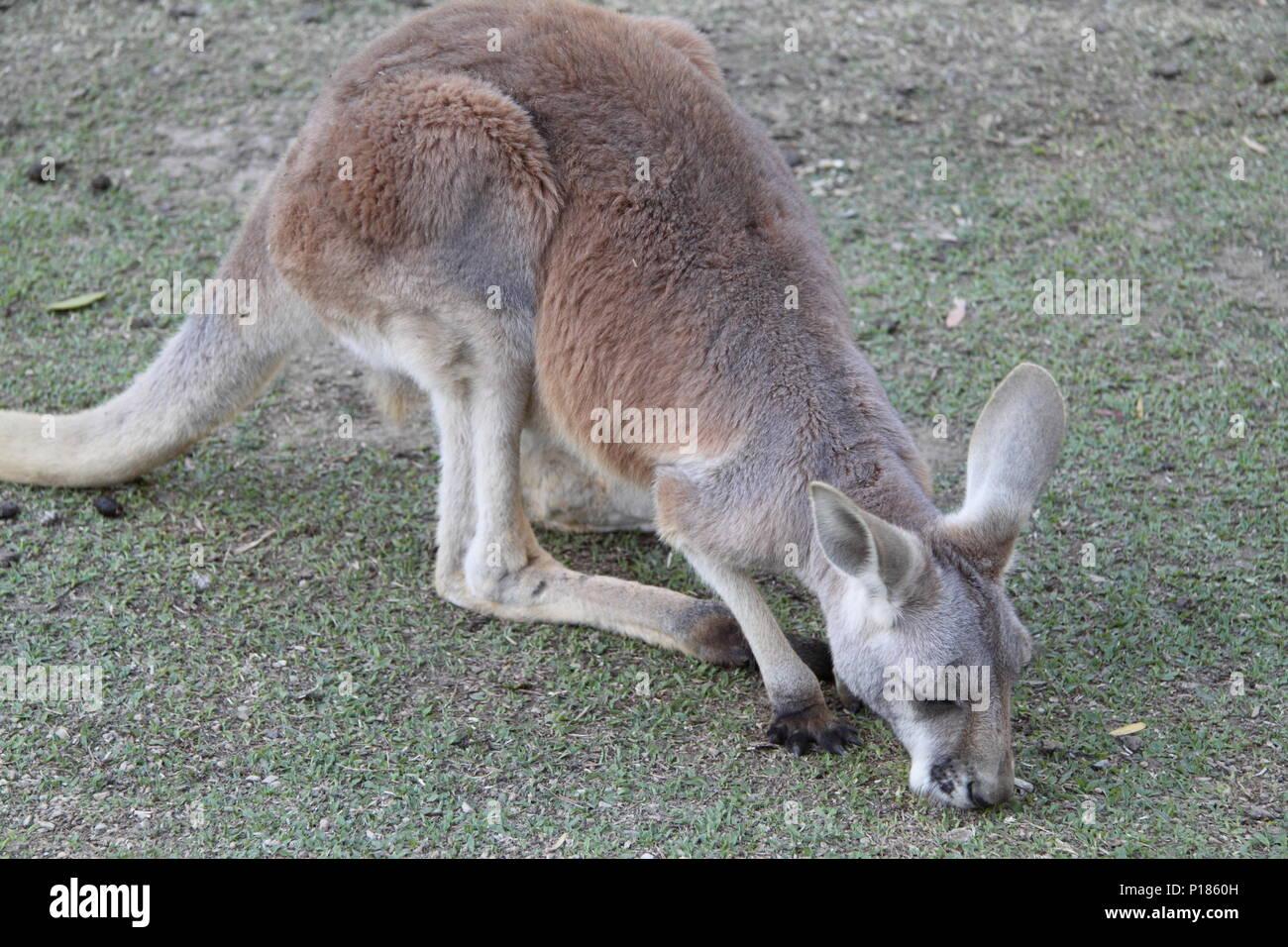 Red Kangaroo Feeding (Macropus Rufus) - Stock Image