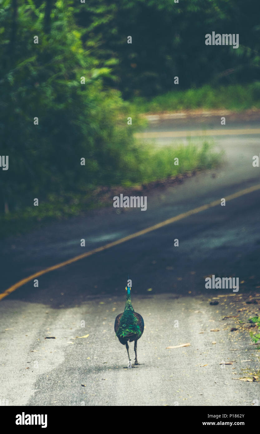 Pavo muticus, Green Peafowl, Maewong national park, Thailand - Stock Image