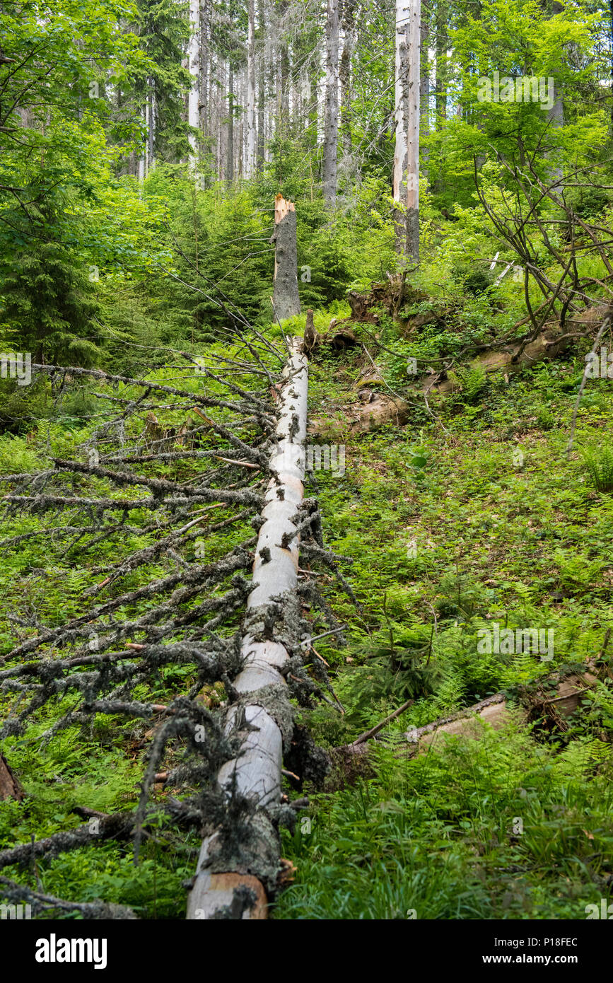 Fallen tree in the middle of the forest Stock Photo