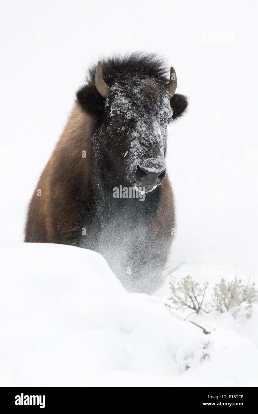 American Bison / Amerikanischer Bison ( Bison bison ) in winter, breaking through a little hill of deep fluffy snow, frontal shot, Yellowstone Nationa Stock Photo