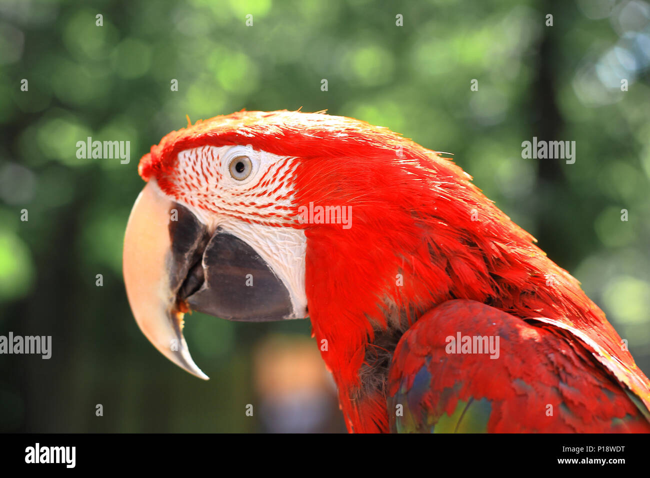 close up. head, macaw parrot on blurred background - Stock Image