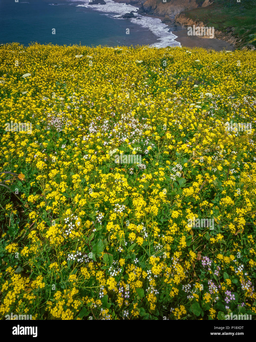 Coastal Fog, Wild Mustard, Sinapis arvensis, Rodeo Beach, Golden Gate National Recreation Area, Marin County, California - Stock Image