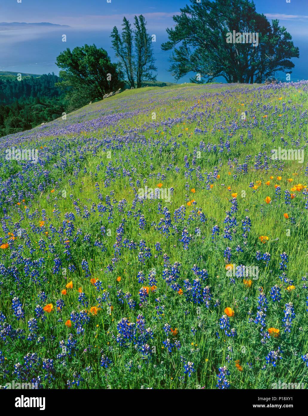 Lupin, Poppies, Bolinas Ridge, Mount Tamalpais State Park, Golden Gate National Recreation Area, Marin County, California - Stock Image