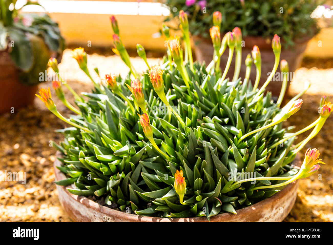 bergeranthus glenensis, succulent, Hereroa glenensis, plant flowering, flower, flowering Hereroa glenensis, bergeranthus glenensis plant, bergeranthus Stock Photo