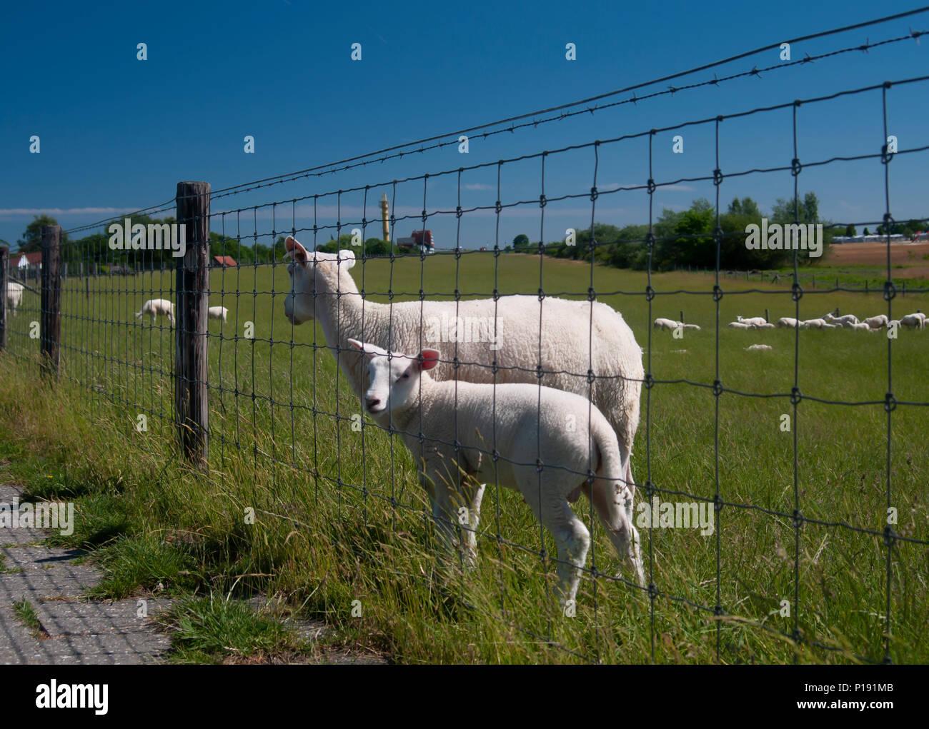 DE - Sheep on the dike - Stock Image