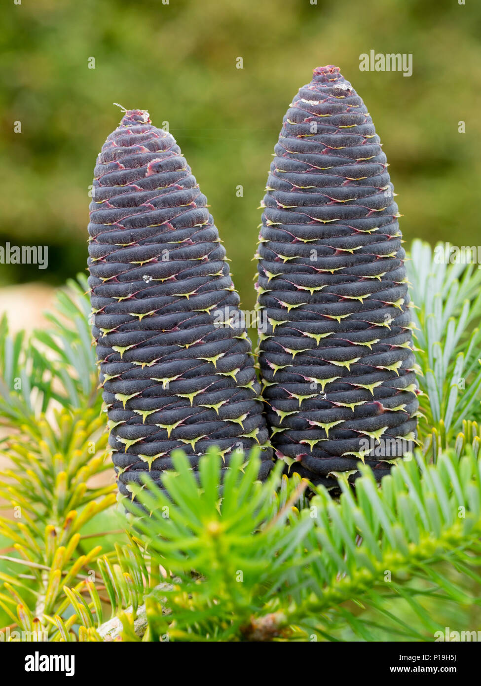 Blue early summer cones nestle among the bright green needles of the decorative conifer, Abies koreana Stock Photo
