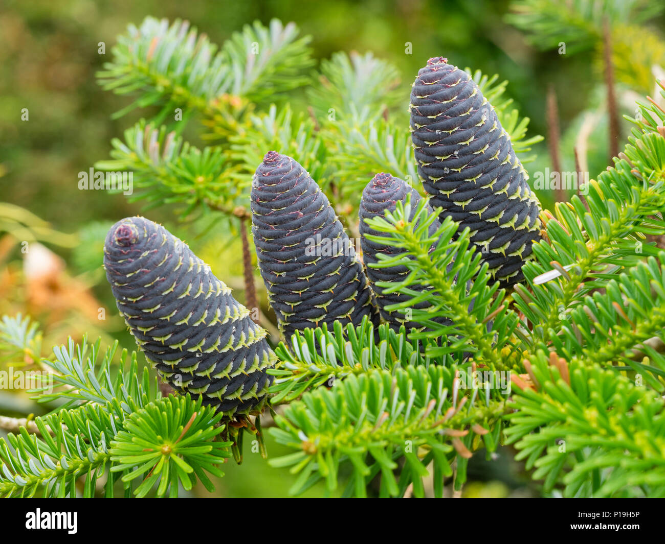 Blue early summer cones nestle among the bright green needles of the decorative conifer, Abies koreana - Stock Image