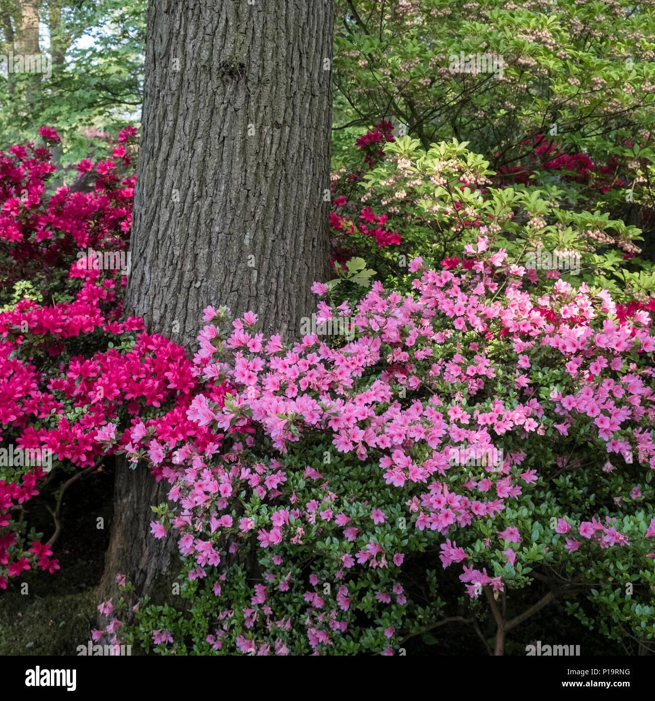 Colourful Azalea Shrubs In The Famous Japanese Garden (Japanse Tuin) In  Spring (May), Clingendael Park, The Hague (Den Haag), Netherlands.