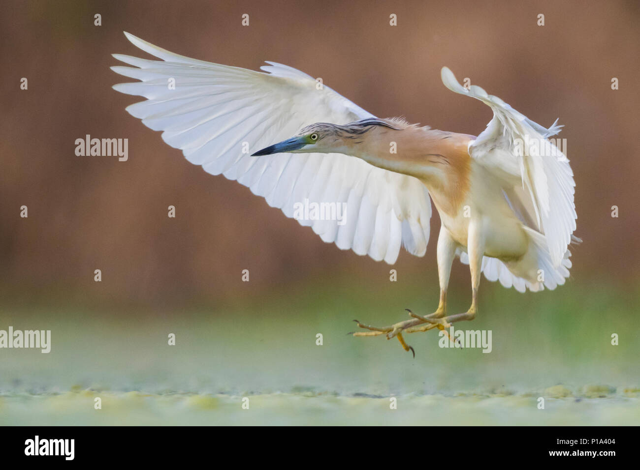 Squacco Heron (Ardeola ralloides), adult in flight - Stock Image