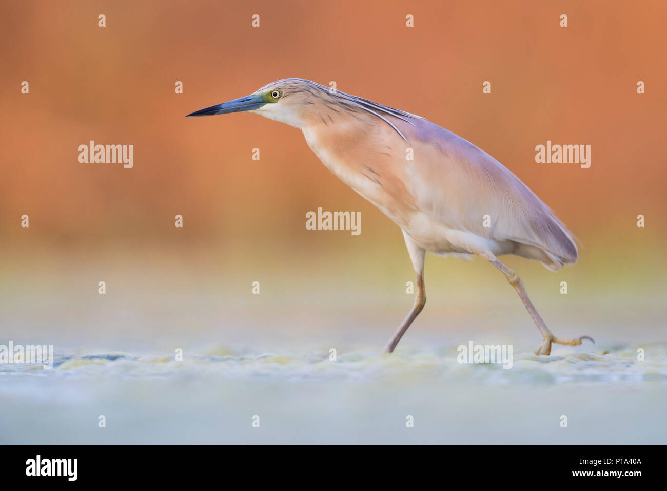 Squacco Heron (Ardeola ralloides), adult walking in a swamp - Stock Image