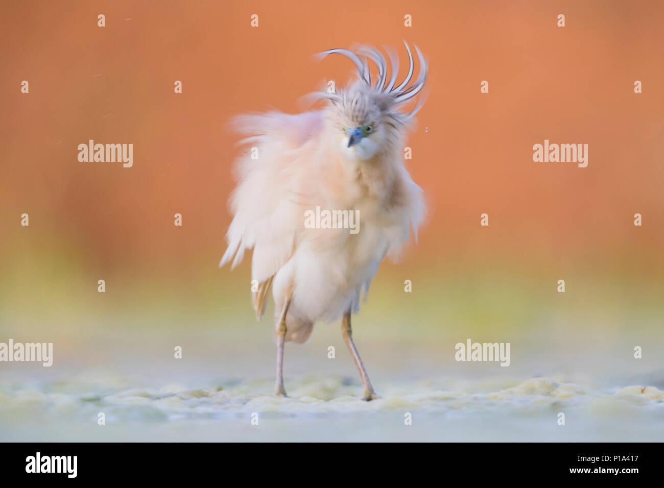 Squacco Heron (Ardeola ralloides), adult shaking its body - Stock Image