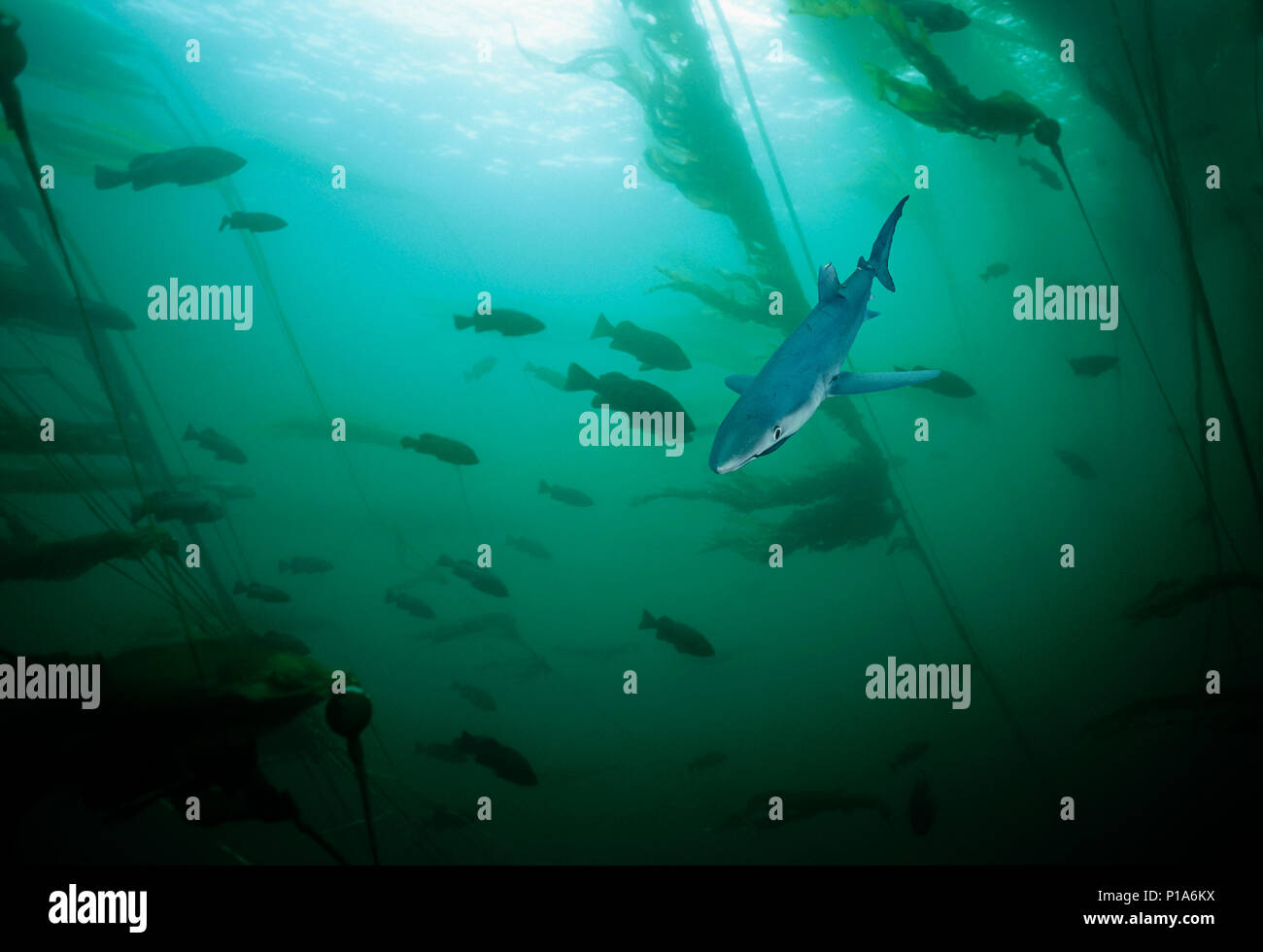 Blue Shark (Prionace glauca). California, USA.   Image digitally altered to remove distracting or to add more interesting background. The main subject - Stock Image