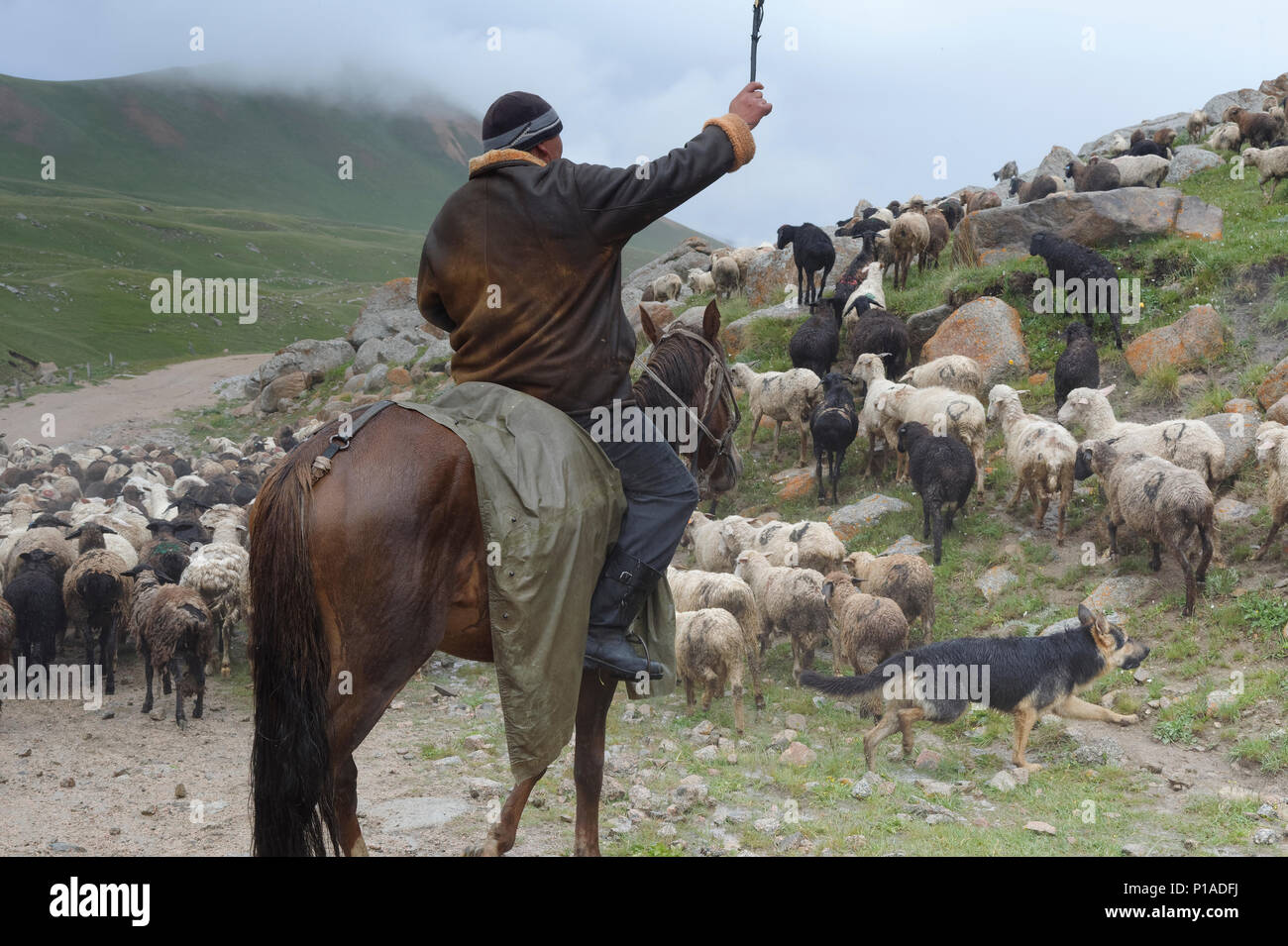 Shepherd guiding his flock of sheep in rain at Tosor Pass, Naryn region, Kyrgyzstan, Central Asia - Stock Image
