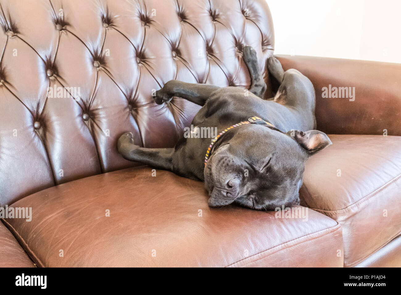 Black Staffordshire Bull Terrier Dog Asleep On A Brown Vintage Style