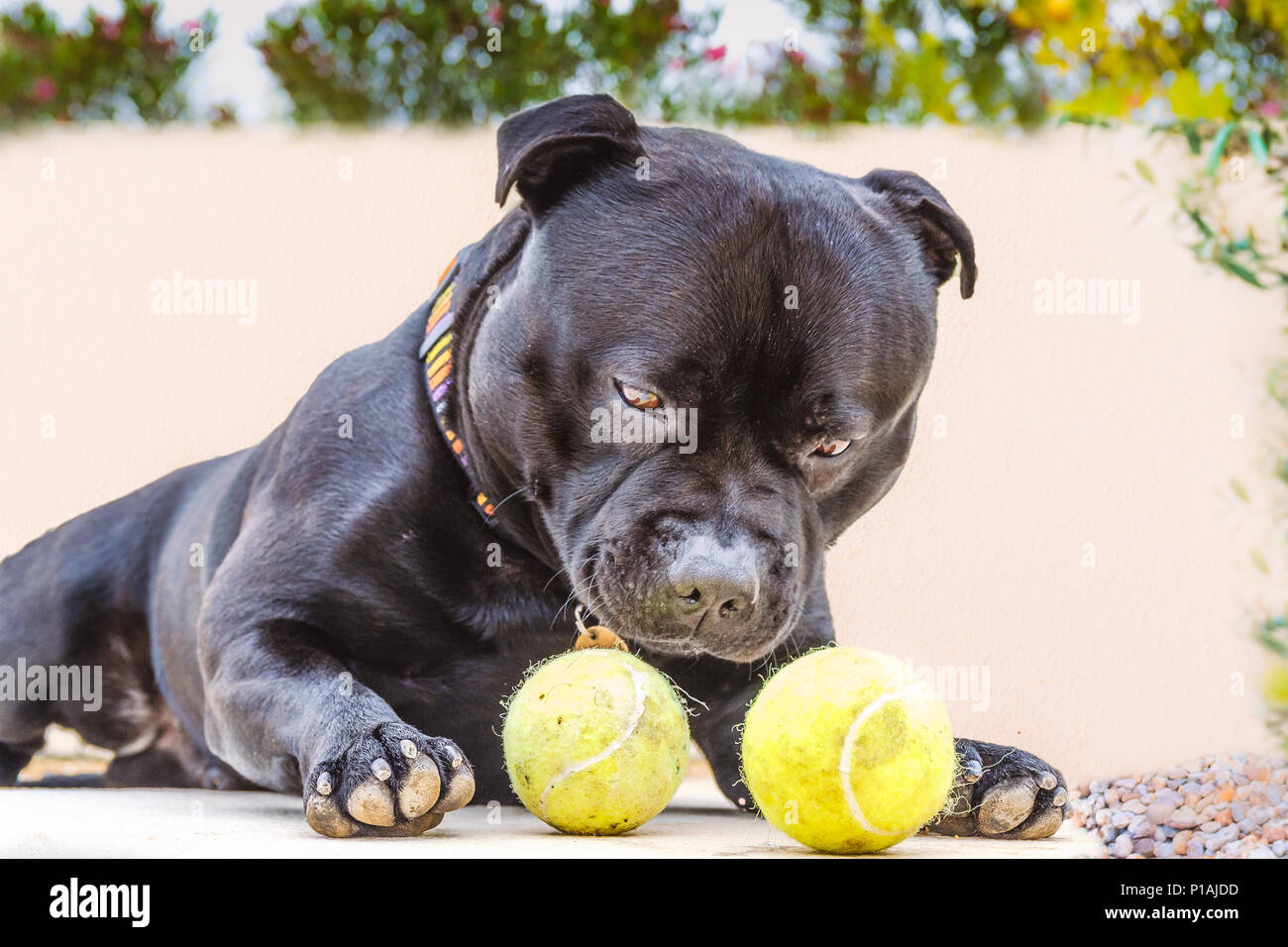 black relaxed staffordshire bull terrier dog lying down outside looking at two tennis balls trying decide which to select. - Stock Image