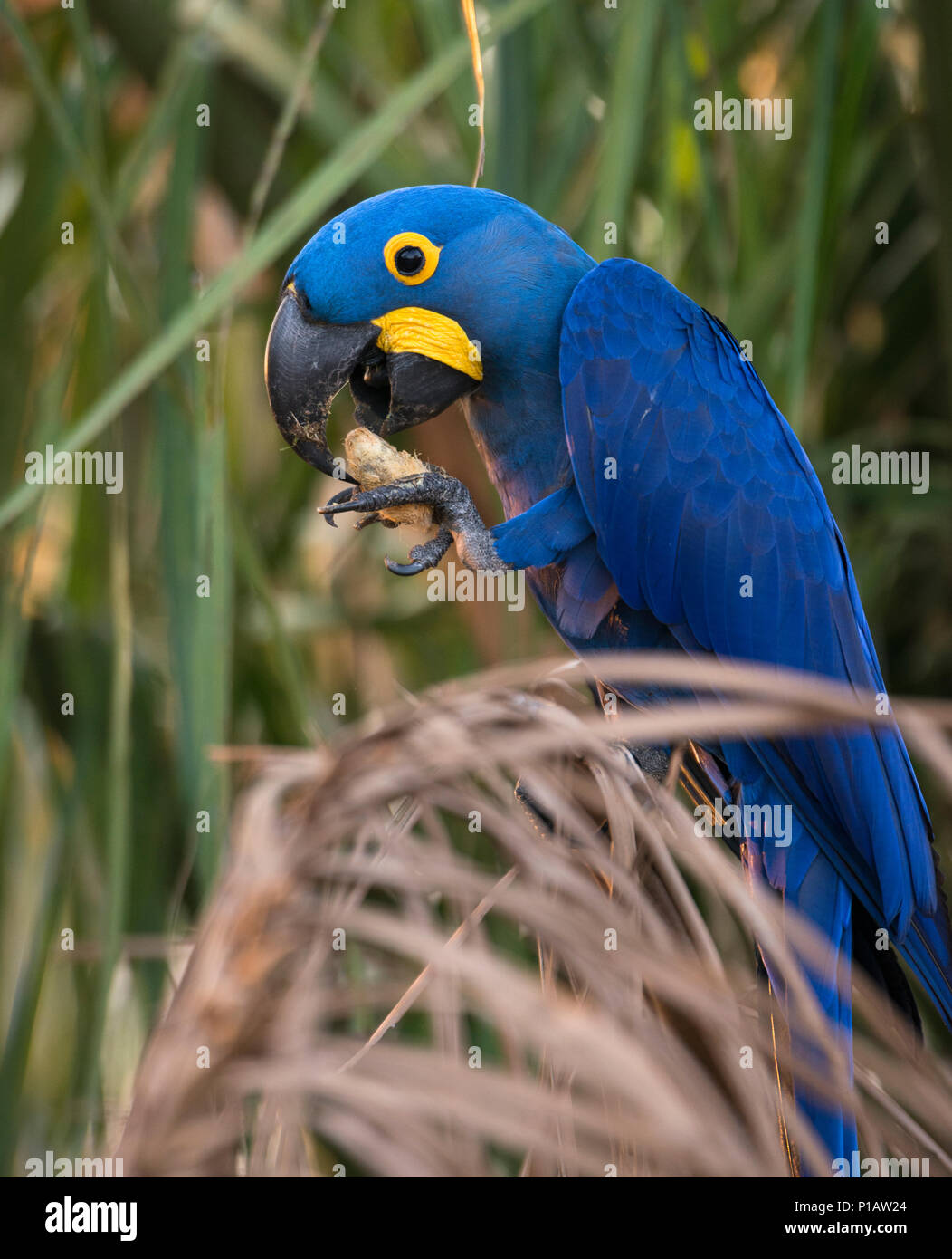 A Hyacinth Macaw from the Pantanal eating its favorite food, the nuts of the Acuri Palm - Stock Image