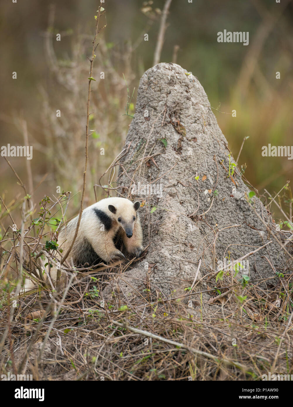 The Southern Tamandua is one of the animals we may find during my photo tours to the Pantanal, Check out details on my profile link. - Stock Image