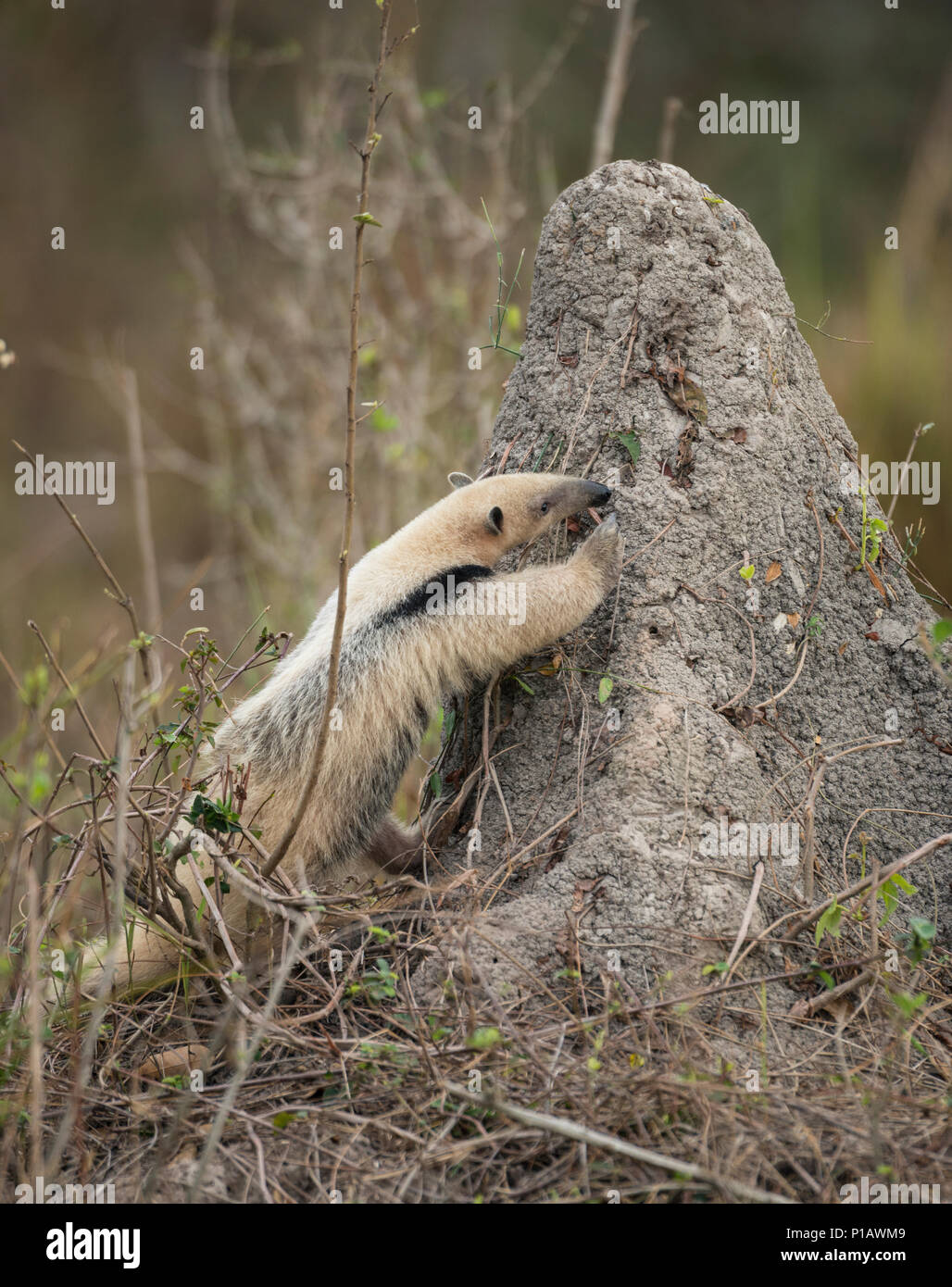 A Southern Tamandua eating on a termite mound in the Pantanal of Brazil - Stock Image