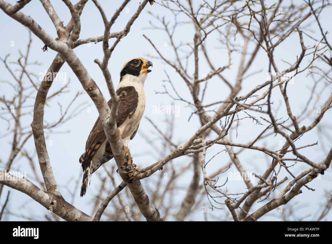 A Laughing Falcon (Herpethotheres cachinnans) from the Pantanal - Stock Image