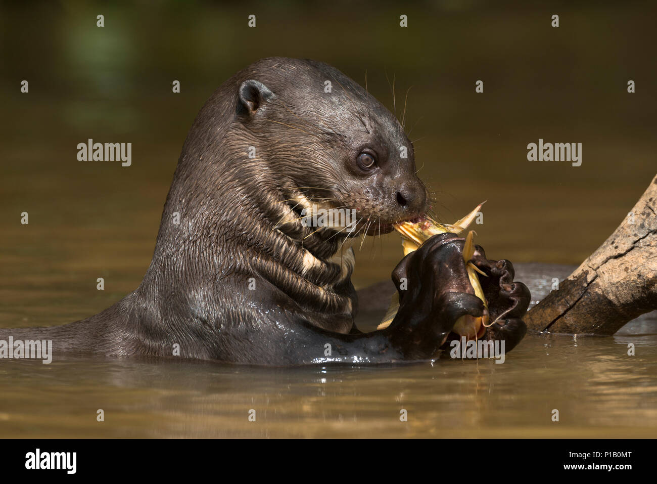 A Giant Anteater eating a catfish in the Pantanal. - Stock Image