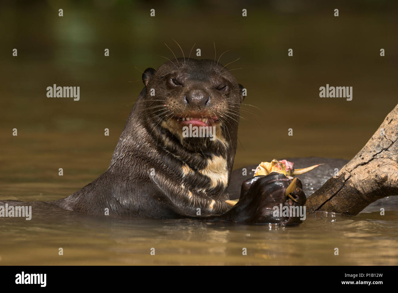 A Giant Otter eating a Mandi Catfish from the Pantanal of Brazil - Stock Image