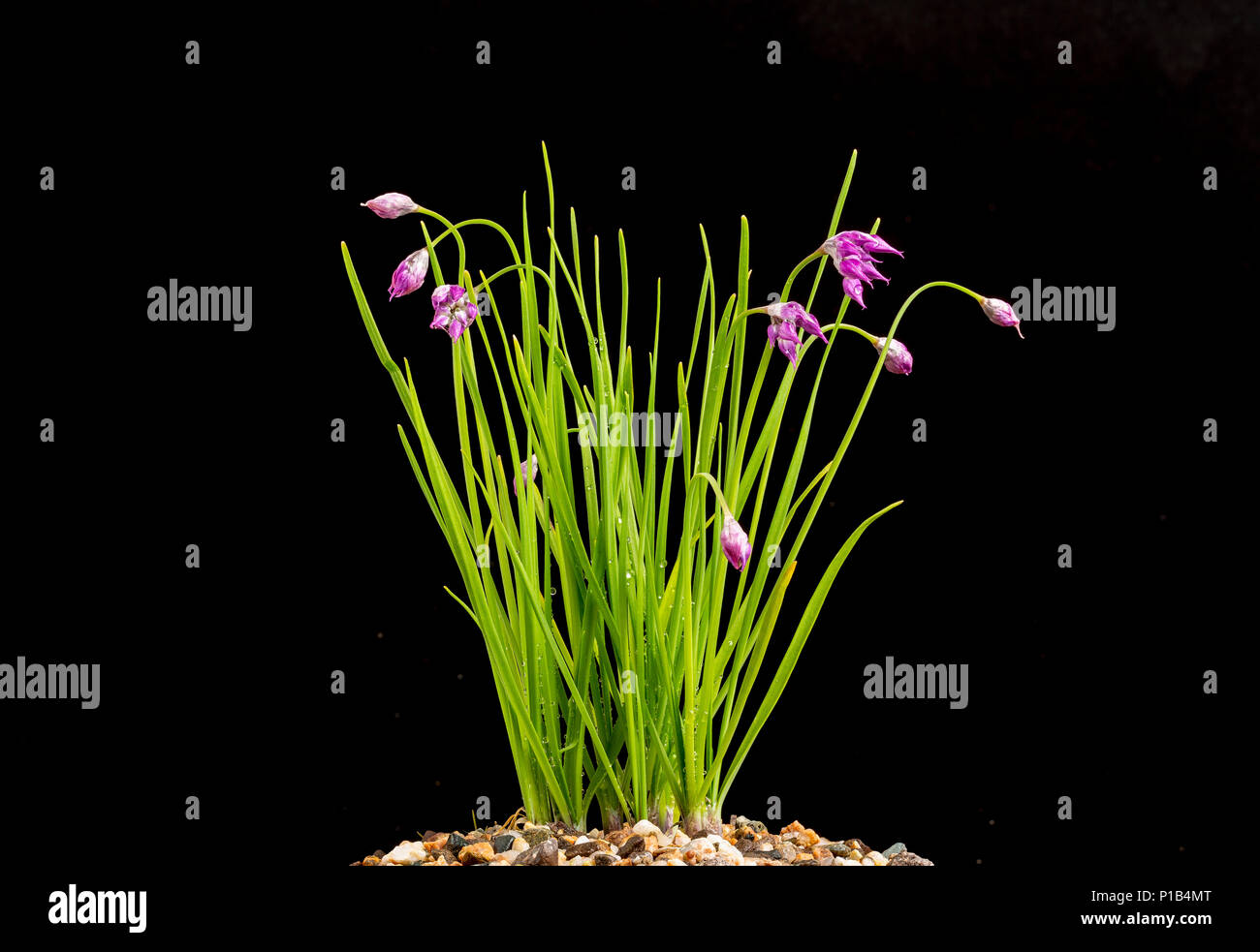 Allium cyathophorum var. farreri, flowering June 3, 2018 Stock Photo
