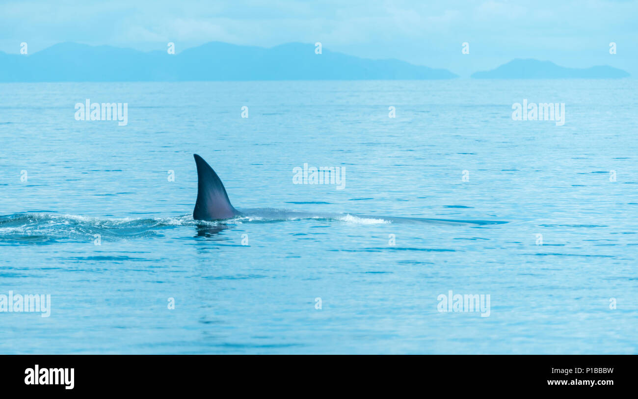 Bryde's whale in Thailand Ocean - Stock Image
