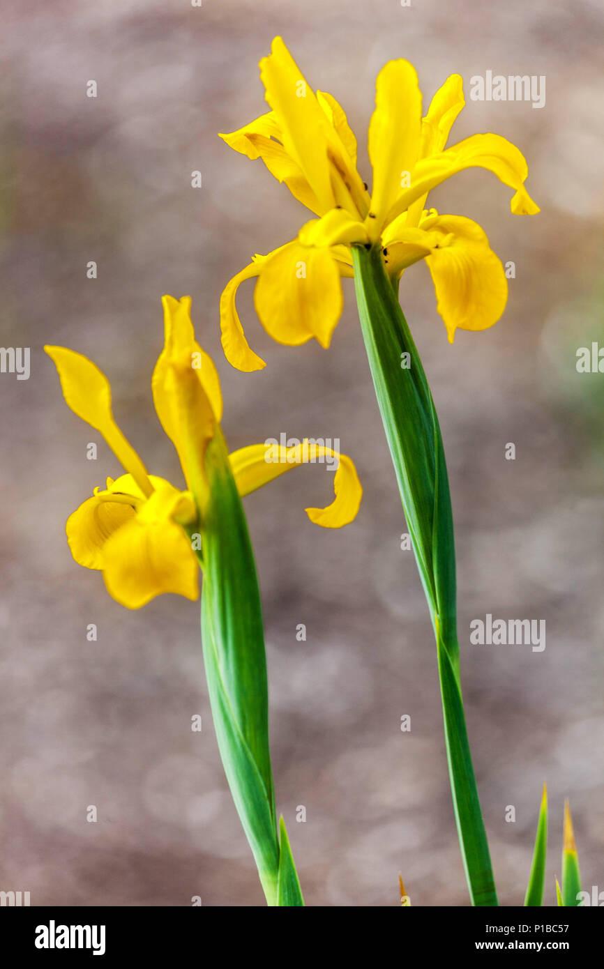 Yellow Iris orientalis, Two yellow irises, Flower bokeh Stock Photo