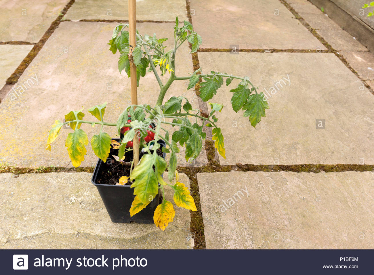 Wilted and diseased tomato plant - Stock Image