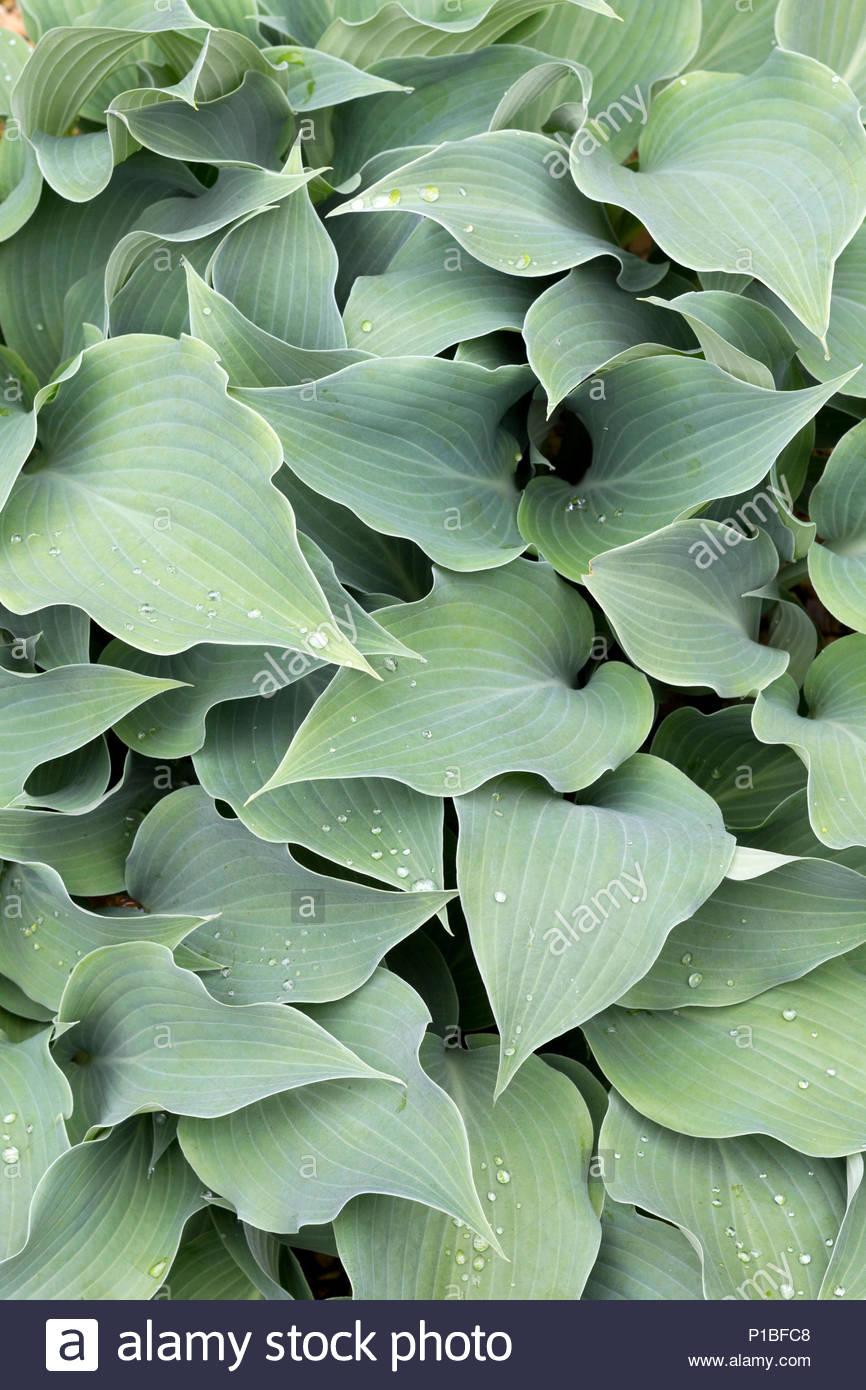 Hosta Plant Variety Is Blue Wedgewood Stock Photo 207392648 Alamy