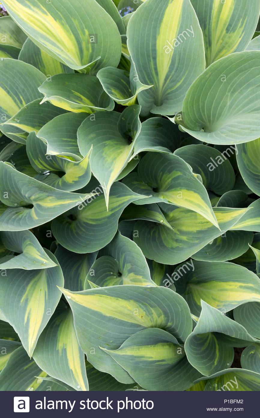 Hosta Plant Variety Is June Stock Photo 207392866 Alamy