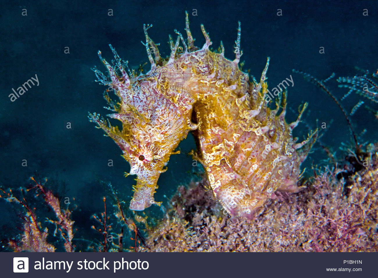 Streifen-Seepferdchen oder Linien-Seepferdchen (Hippocampus erectus), Florida, USA | Lined seahorse (Hippocampus erectus), Florida, USA - Stock Image