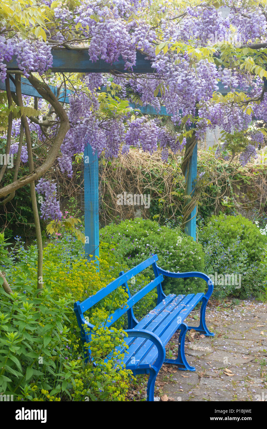 Wondrous A Beautiful Wisteria With A Bright Blue Garden Bench In Gmtry Best Dining Table And Chair Ideas Images Gmtryco