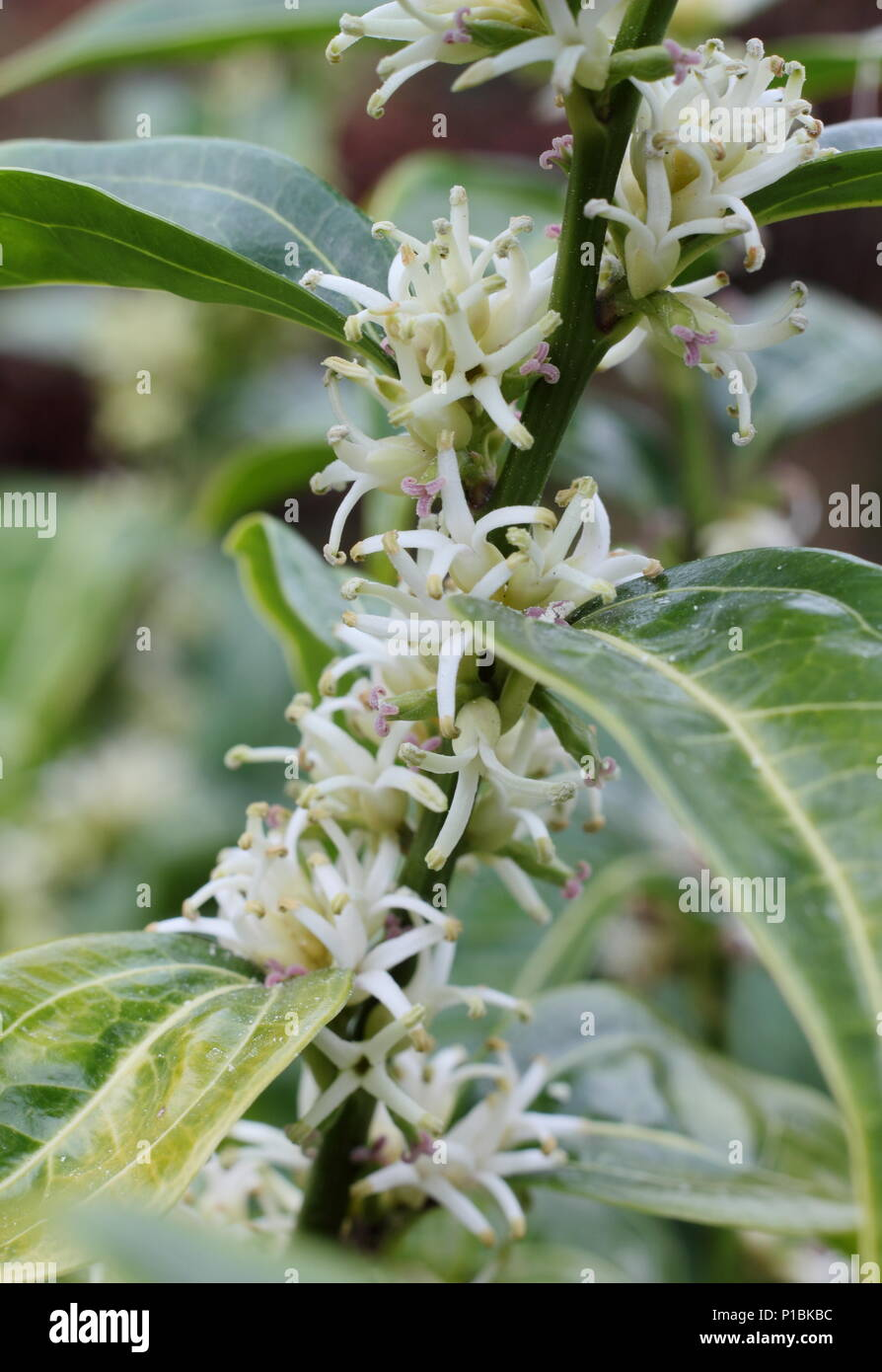 Sarcococca wallichii. Fragrant flowers of Sarcococca wallichii, also called Christmas box or Sweet box, in flower in a winter garden, UK - Stock Image