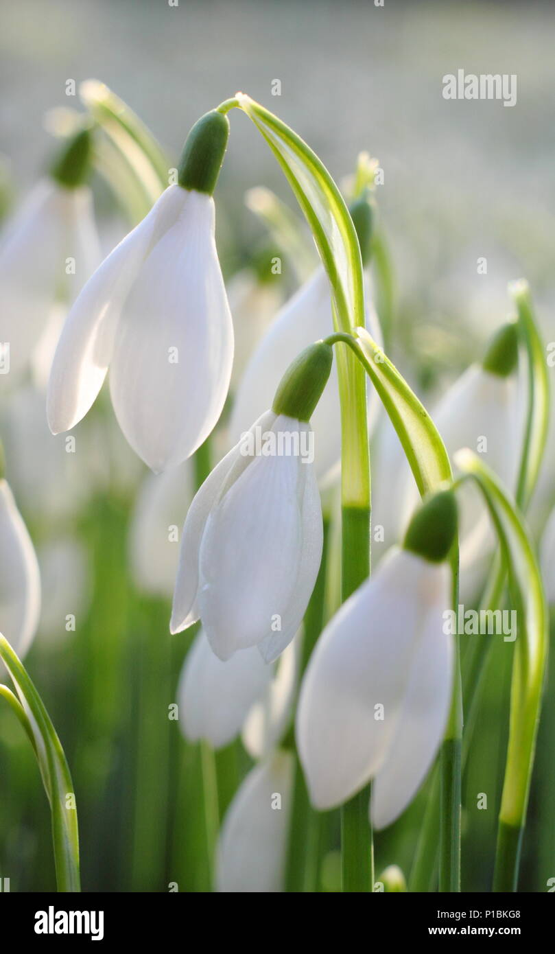 Galanthus nivalis. Snowdrops illuminated by low, winter sunshine in an English garden - Stock Image