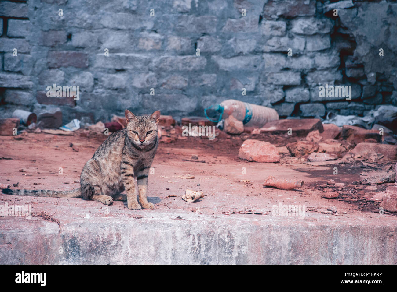 Tiger look alike angry cat before a brick wall inside Ramnagar Fort - Stock Image