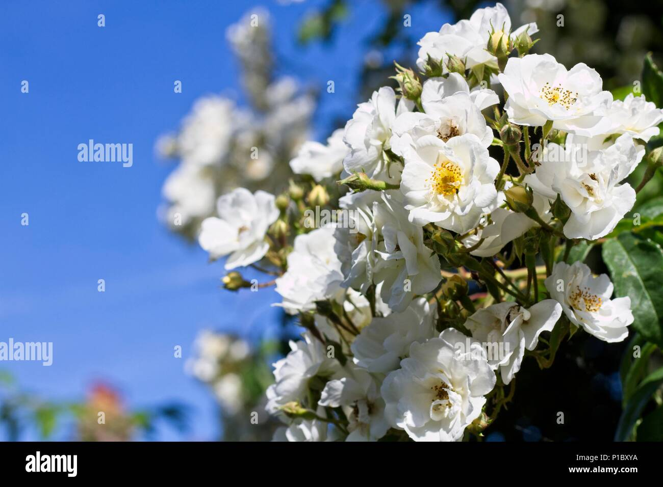 Rosa 'Rambling Rector' - Stock Image