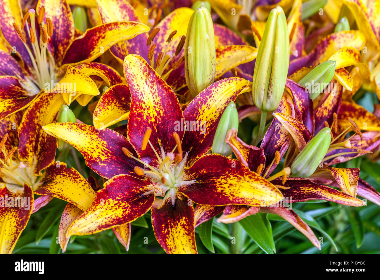 Lilium 'Tiny Sensation', asiatic lilies - Stock Image