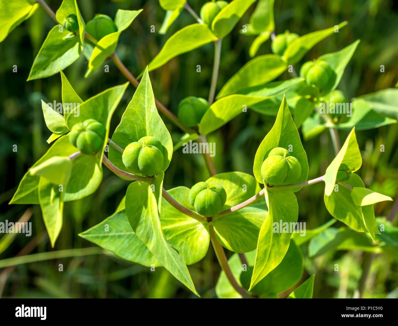 Caper Spurge / Euphorbia lathyris biennial plant, France. - Stock Image
