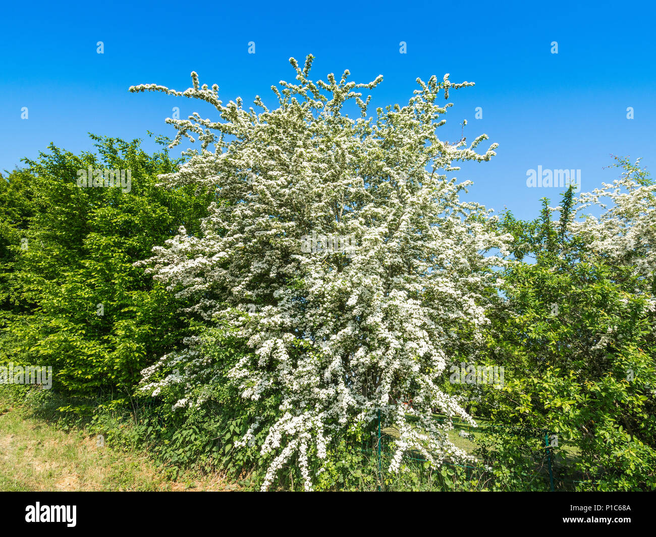 May blossom in roadside hedge, France. - Stock Image