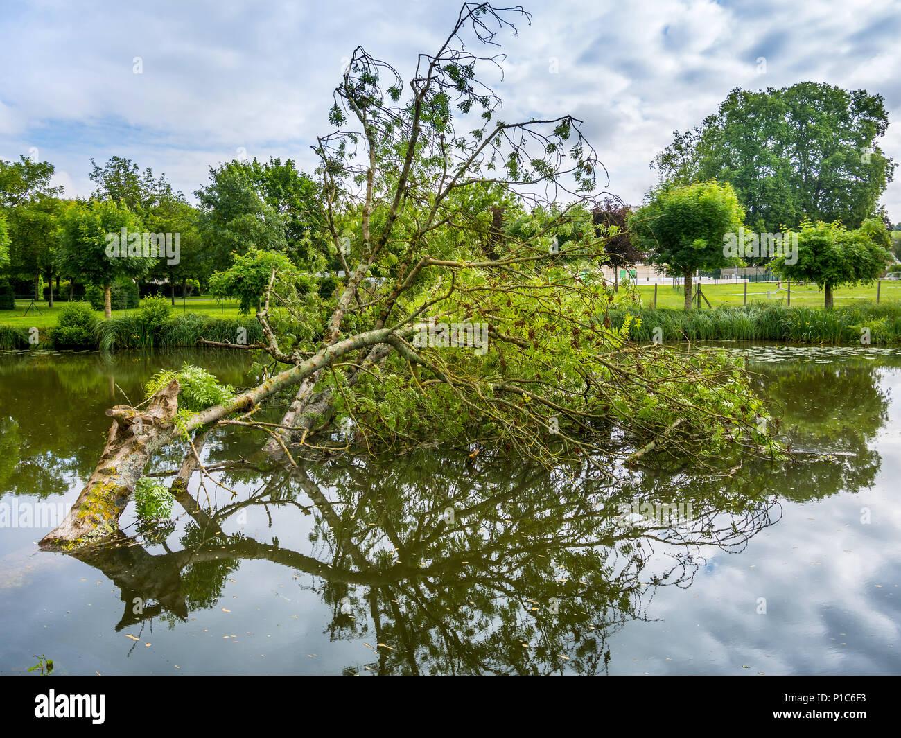 Storm damaged Ash tree fallen across river, France. - Stock Image