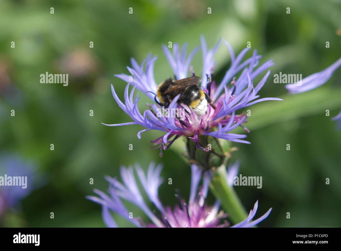 Bee on purple and pink wild flower - Stock Image