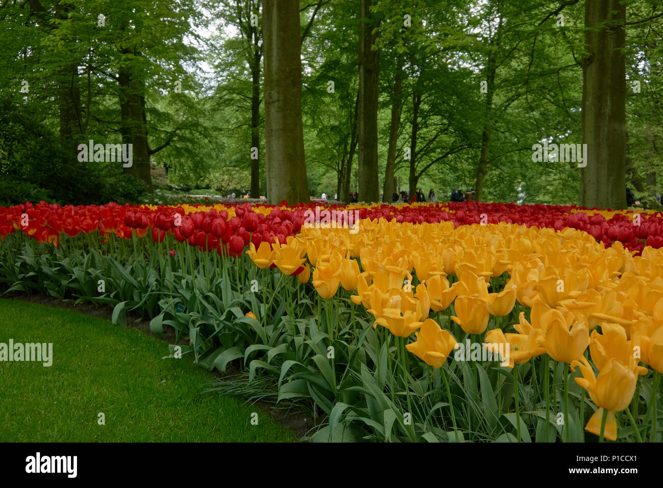 Camp Of Tulips In The Gardens Of Keukenhoff, Netherlands   Stock Image