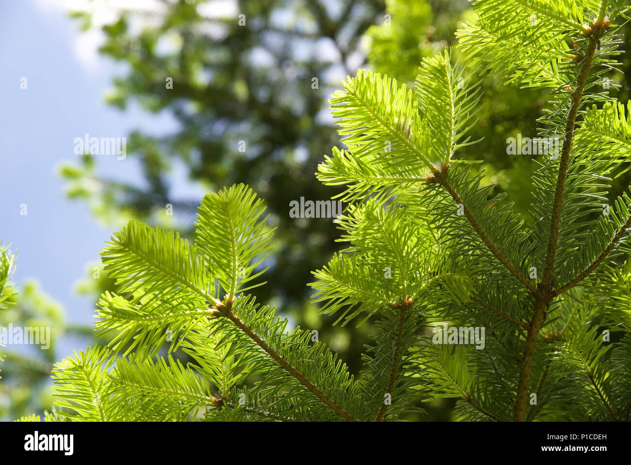 Douglas Fir (Pseudotsuga menziesii): new growth on a mature Douglas fir, or Oregon Pine tree Stock Photo