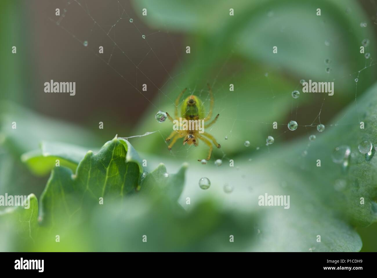 Water: beads of rain water rest in the web of a small spider (Araniella cucurbitina) surrounded by green foliage - Stock Image