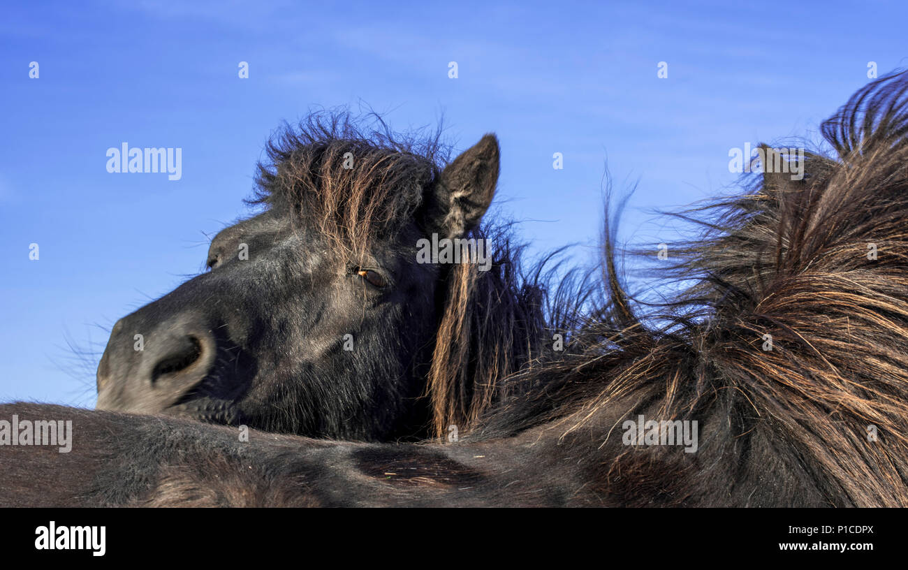 Close up of two black Shetland ponies, Shetland Islands, Scotland, UK - Stock Image