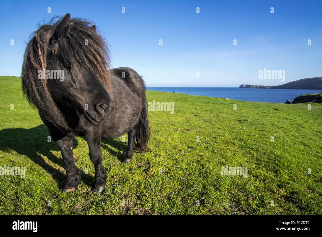 Black Shetland pony in field along the coast on the Shetland Islands, Scotland, UK - Stock Image