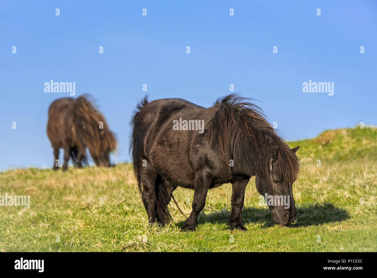 Two black Shetland ponies grazing in grassland on the Shetland Islands, Scotland, UK - Stock Image
