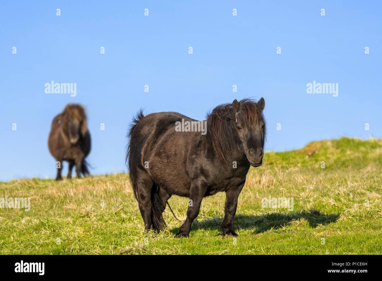 Two black Shetland ponies in grassland on the Shetland Islands, Scotland, UK - Stock Image